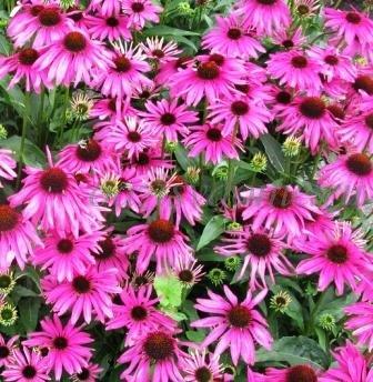 Многолетний лечебный цветок эхинацея - фото