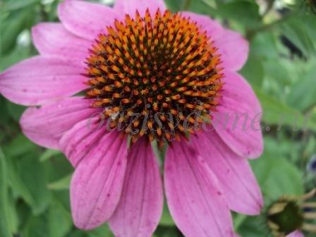 Многолетний цветок эхинацея - полезные свойства