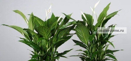 Фото цветка спатифиллум