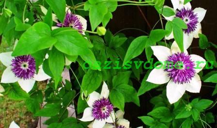 Фото цветка клематиса