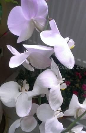 орхидея фаленопсис подкормка