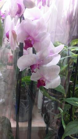 Орхидея фаленопсис после покупки