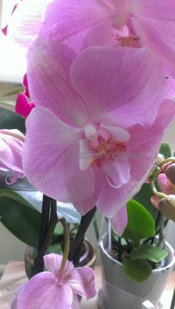 Орхидея фаленопсис уход после цветения