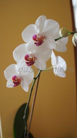 Фото орхидеи фаленопсис в домашних условиях