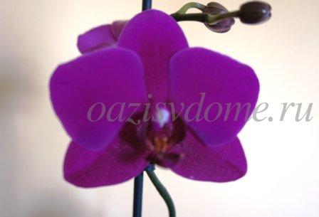 Что делать когда отцветет орхидея Фаленопсис?