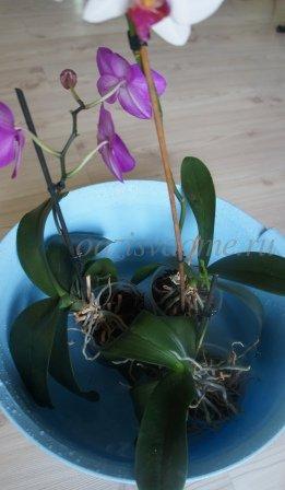 Орхидея фаленопсис правильный полив