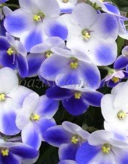 Фото цветков фиалки