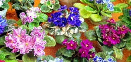 Цветущие фиалки в домашних условиях - фото