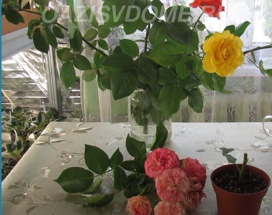 Укоренение розы