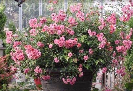 Размножение розы