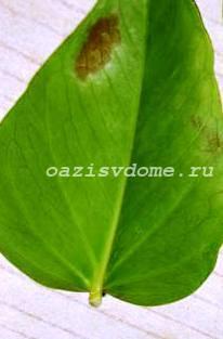 У антуриума сохнут листья