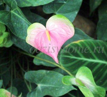 Цветок антуриум, что делать, если сохнут листья