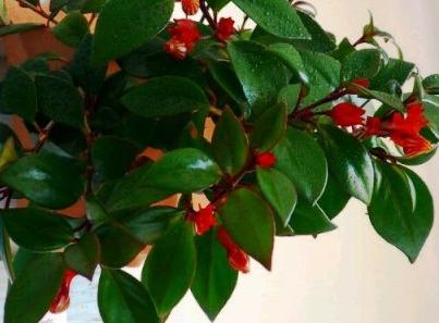 Красивый цветок эсхинантус: уход в домашних условиях, размножение, виды с фото