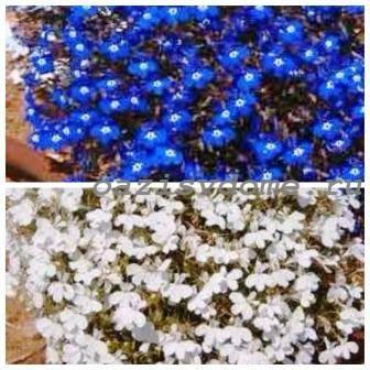 Цветок лобелия: посадка и уход, выращивание из семян, фото