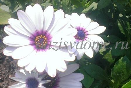 Остеоспермум: посадка и выращивание из семян в домашних условиях, фото