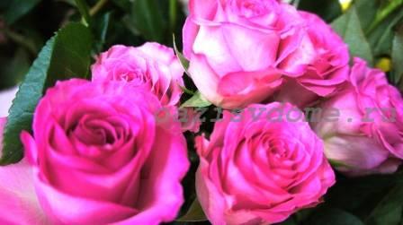 Как размножать розы в домашних условиях: размножение черенками с фото