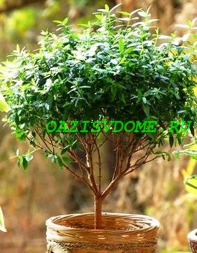 Мирт: уход в домашних условиях, фото комнатного растения, приметы