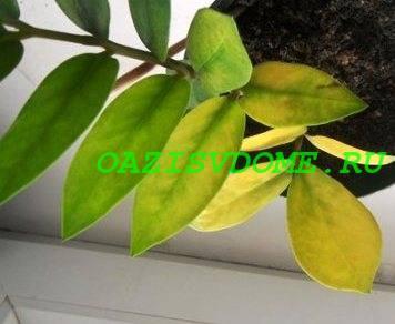 У замиокулькаса желтеют листья