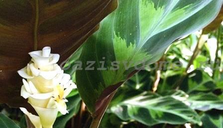 Цветок калатеи Варшевича