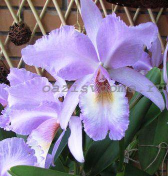 Орхидея каттлея в домашних условиях: уход и фото цветка