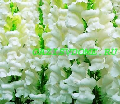 Белые цветы львиного зева