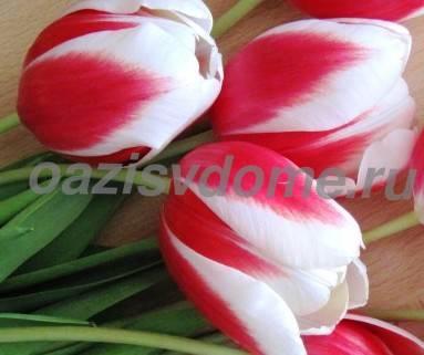 Как выращивать тюльпаны в домашних условиях