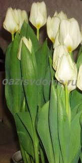 Тюльпаны дома в горшке