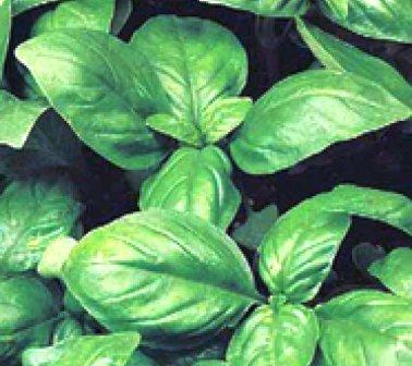 Полезное растение базилик