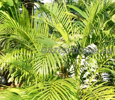 Хамедорея: уход в домашних условиях, фото, пересадка, болезни пальмы