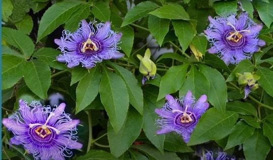Пассифлора фиолетовая