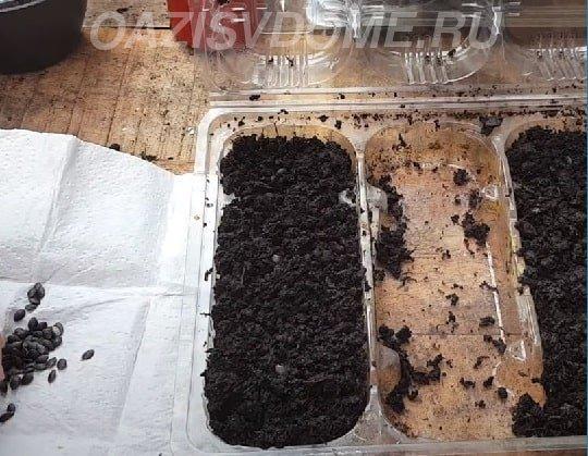 Пассифлора посадка семенами