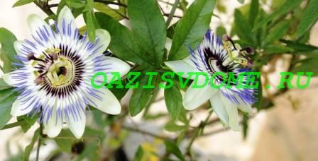 Голубая пассифлора