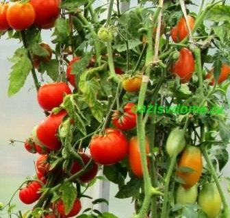 Как правильно и когда сажать помидоры на рассаду по лунному календарю