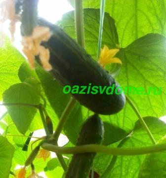 Посадка огурцов на рассаду по Лунному календарю: как и когда сажать, выращивание рассады в домашних условиях