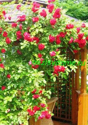 Плетистые розы на беседке