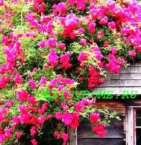 Плетистые розы: посадка и уход, выращивание и размножение