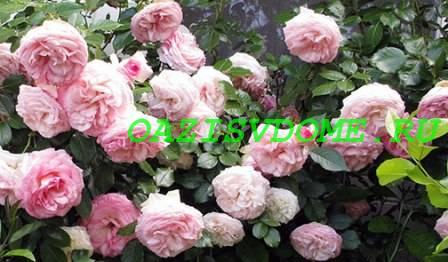 Фото крупных плетистых роз