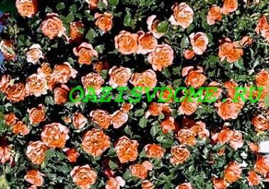 Плетистая роза Metanoya