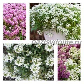 Цветок алиссум: посадка и уход, фото, выращивание из семян рассады
