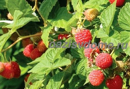 Посадка малины и уход в открытом грунте весной, летом и осенью