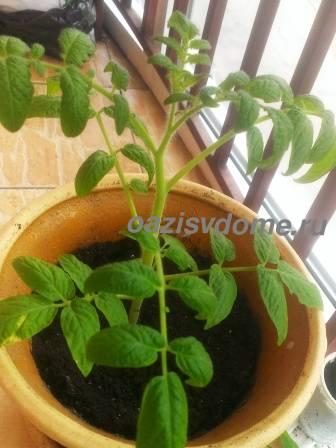 Подросшие балконные томаты