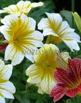 Сальпиглоссис: выращивание из семян, посадка и уход, сорта и фото