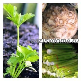 Сельдерей: выращивание из семян, когда сажать, посадка и уход в открытом грунте
