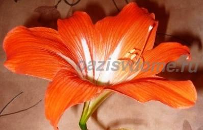 Фото цветка гиппеаструма