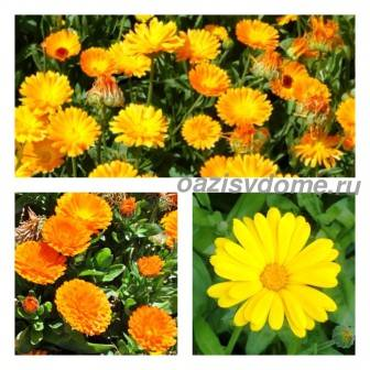 Календула: посадка и уход в открытом грунте, когда сажать, фото цветка