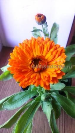 Цветение календулы в домашних условиях