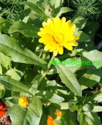 Цветение ноготков в саду