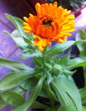 Бутон цветка календула