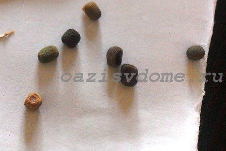 Семена душистного горошка