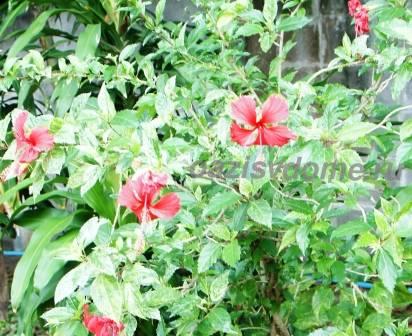 Цветущий куст китайской розы